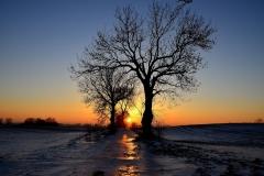 Śródpolne drzewa