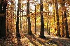 Buki w rezerwacie Kamienna Góra, kierunek zach