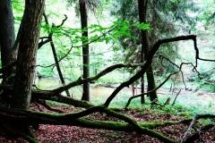 Drzewa porastające mchem, w tle Łyna