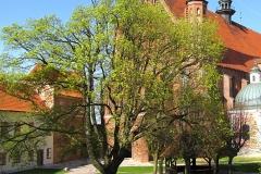 Klon na dziedzińcu katedralnym, kier. pn.