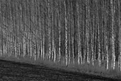 Las brzozowy Barcikowo
