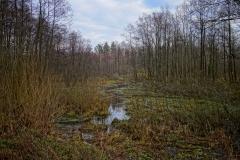 Leśne mokradło, okolice wsi Wielochowo