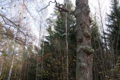 Rezerwat-przyrody-Deby-Napiwodzkie-3