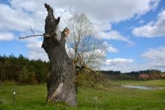 Rozgity-przydrożne drzewo