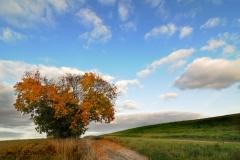 Samotne drzewo w okolicy Klebarka